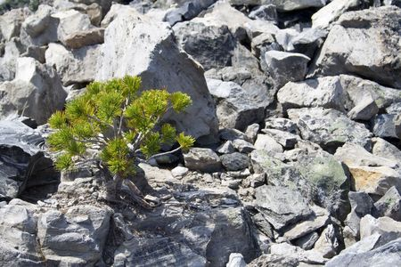 tenacious: very hardy, tenacious plants growing out of an old lava flow Stock Photo