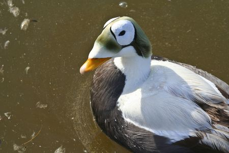 Oddly colored duck looking at camera photo