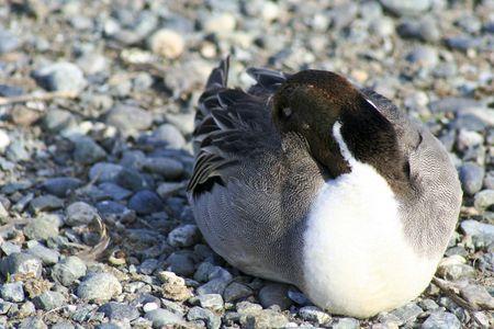 duck sleeping photo