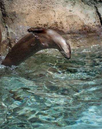 BACKFLIP: A river otter playing in the water Stock Photo