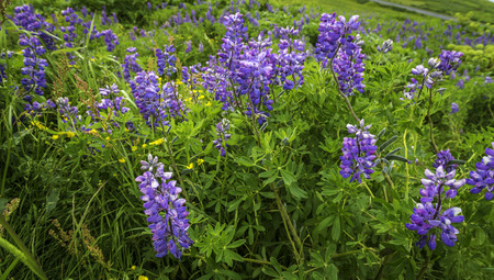 Lupine in bloom photo