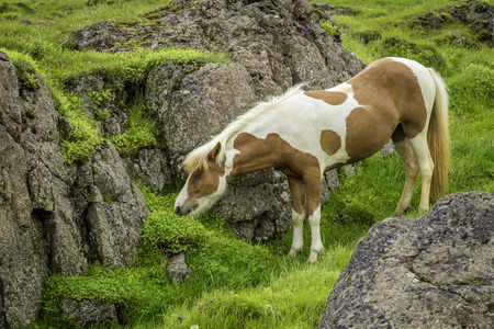 The Icelandic horse is a small, hardy, charismatic, and beautiful breed photo