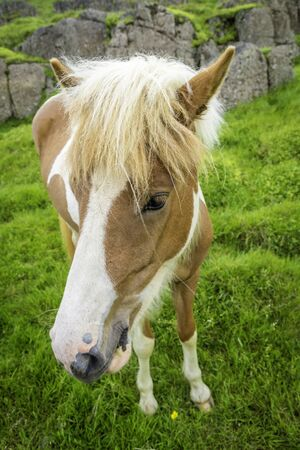 hardy: The Icelandic horse is a small, hardy, charismatic, and beautiful breed