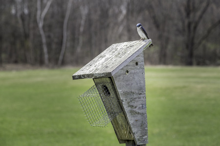 courting: Swallows courting on top of a wooden bird box