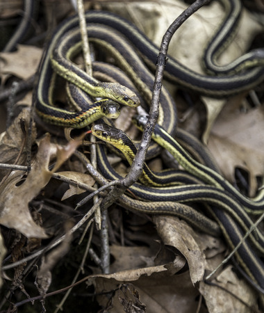A nest of young garter snakes on the forest floor Stock Photo