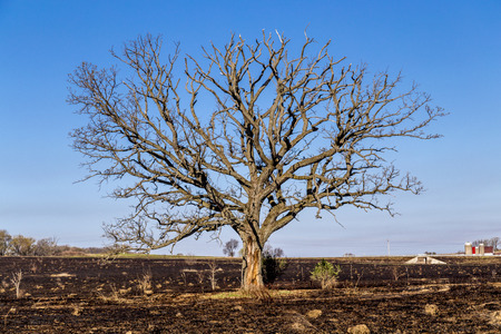 huge tree: A large oak tree, although bare, still stands following a prairie fire