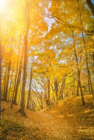 Golden yellows dominate the canopy in October near Pewits Nest Stock Photo