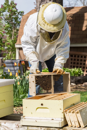 A beekeeper installs a new package of bees in a hive