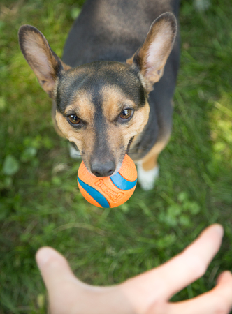 A terrier does not want to give the ball to his human Stock Photo
