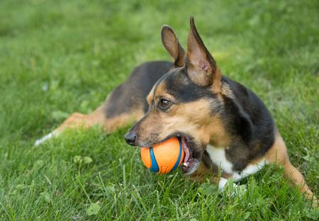A small terrier and his ball in the yard