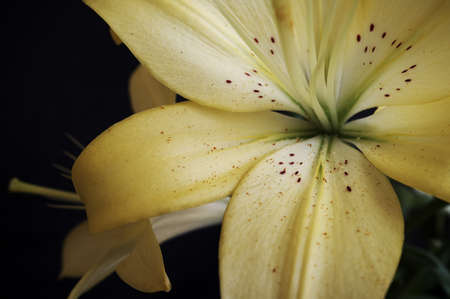 Bouquet of yellow lily on a dark background   photo