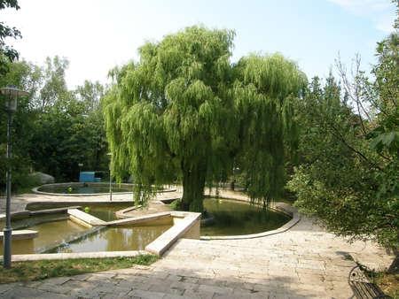 osier: Osier in garden