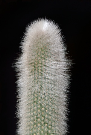 spiked hair: Succulent cactus on the black background