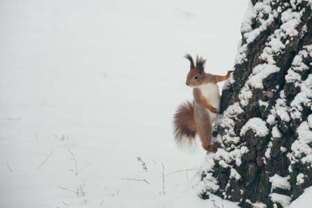 Cute red squirrel looking at winter scene - photo with nice blurred forest in the background nice