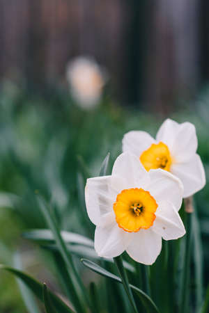 Narcissus flower. Narcissus daffodil flowers and green leaves background nice butterfly