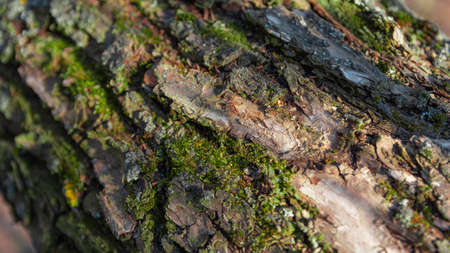 Bark on an old dry tree with moss nice Stock fotó