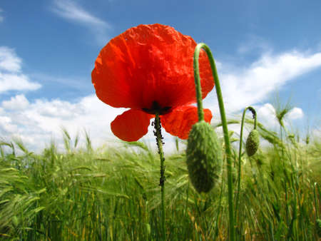 a poppy and a lot of ants Stock Photo
