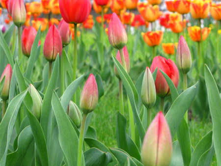 a field with colored tulips Stock Photo