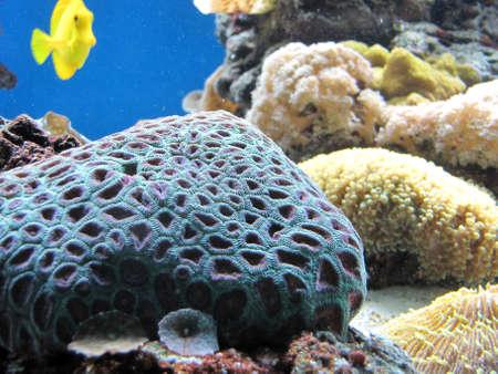 blue corals