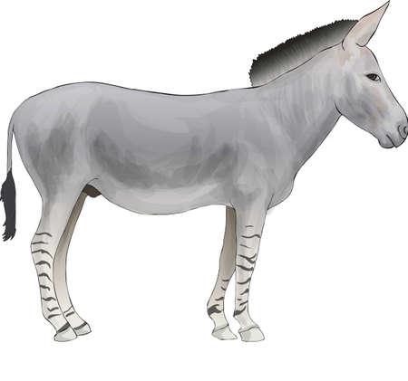 African wild ass Stock Photo