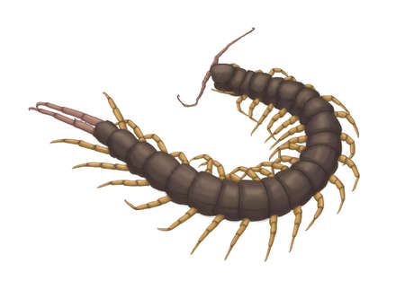 segmented bodies: myriapod centipede