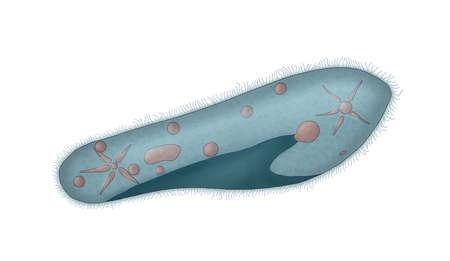 vacuole: paramecium