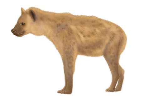 carnivore: hyena Stock Photo