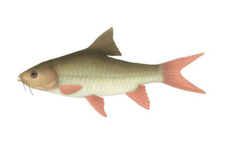 cyprinidae: mahseer