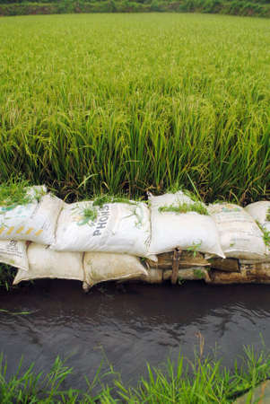 ricefield border