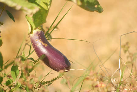 Fresh purple eggplant fruit at the field in the morning with close up shoot Stock fotó
