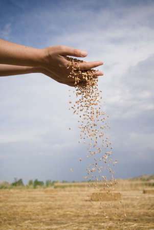 wheat harvest: grano e mano Archivio Fotografico