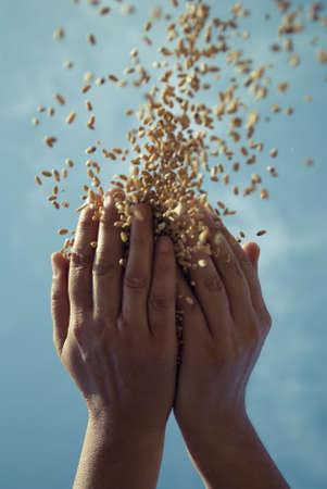 aratás: gabona és kézi Stock fotó