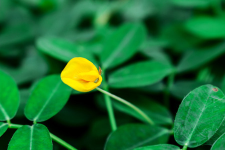 Beautiful Blooming Yellow Pinto Bean Flower on The Ground Stock Photo