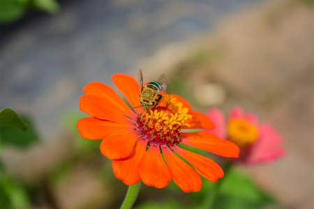 A Bee Suck a Orange Zinnia Pureviana Flower in Spring Daylight