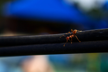 Big Brown Ant Walk on Big Black Electric Cable Stock Photo