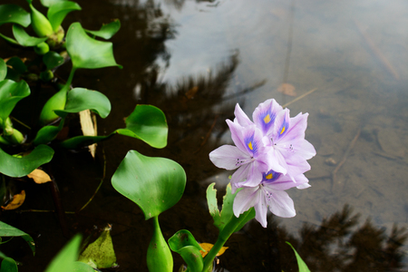 The Flower of Eichhornia crassipes