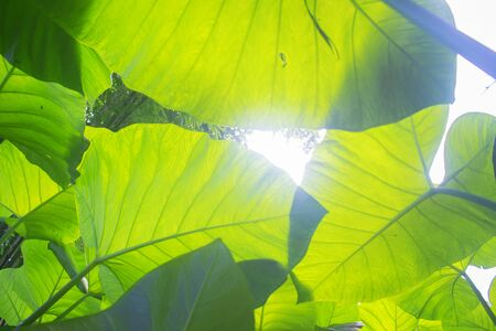 Worm's eye view of Taro Leafs Under Sun Shine Banco de Imagens