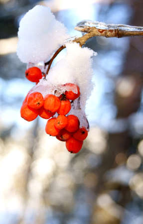 mountain ash cluster in snow