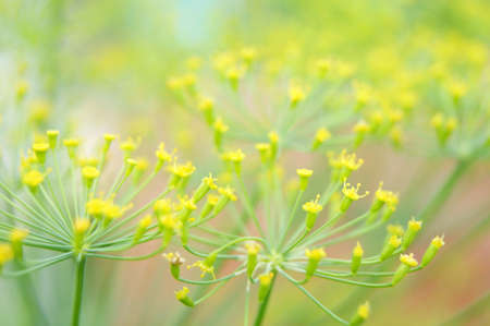 dill flowers on a green background