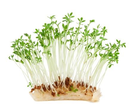 Garden cress ( Lepidium sativum) isolated on white background