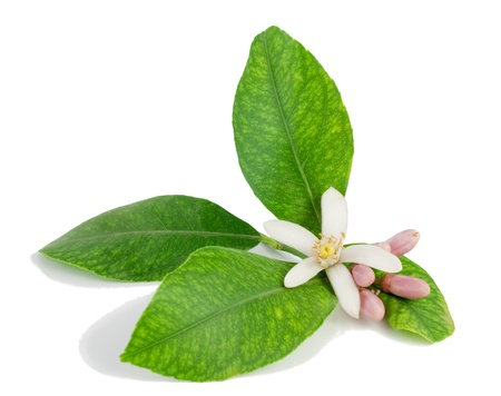 citrus plant:  Lemon branch, flower, buds, leaves.  Isolated on a white background.