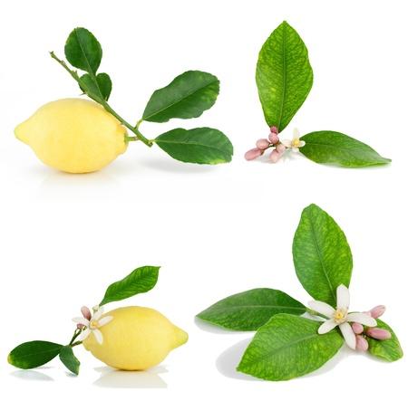 Set van citroen tak en citroen een bloem. Geà ¯ soleerd op een witte achtergrond. Stockfoto