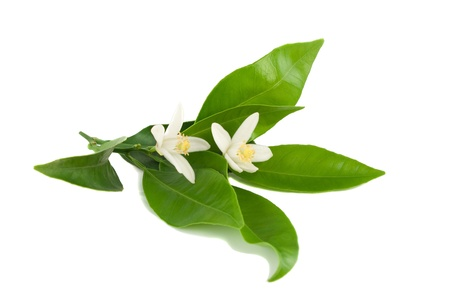 Blossoming branch of an orange tree with leaves.Isolated on a white background.