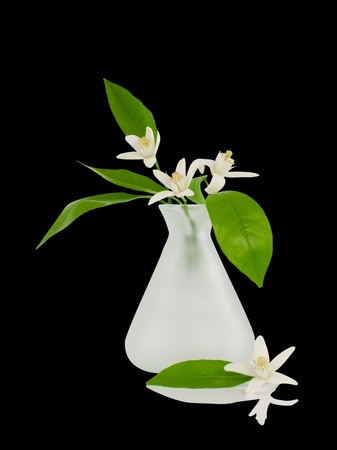 Blossoming branch of an orange in a vase.Isolated  paths on a black background.