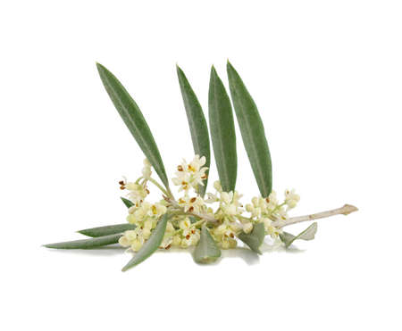 Blossoming branch of an olive tree. Isolated on a  white background.