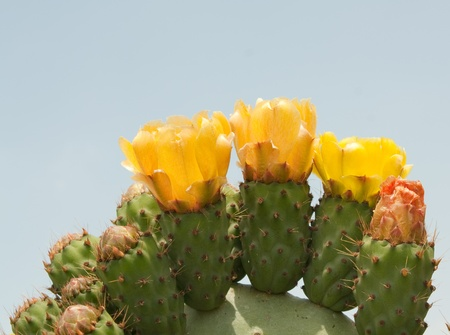 Cactus or Prickly Pear Flowers