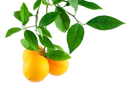 Orangen auf einem Ast mit Blättern auf weißem Hintergrund