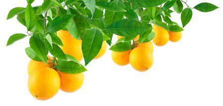 citricos: Naranjas sobre una rama aislada en un fondo blanco haciendo un borde