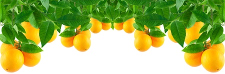 Oranges on a branch with leaves Isolated on a white background  making a border Stock Photo - 11618263