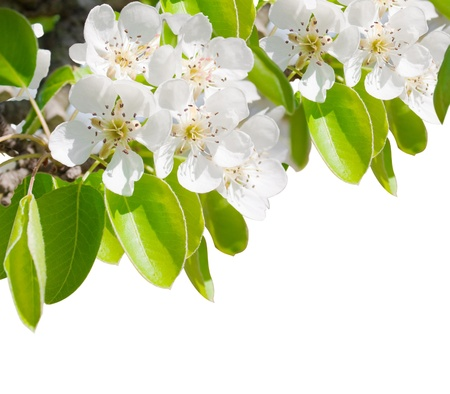 Blossoming branch of a pear tree  making a border isolated on a white background Stock Photo - 11618246